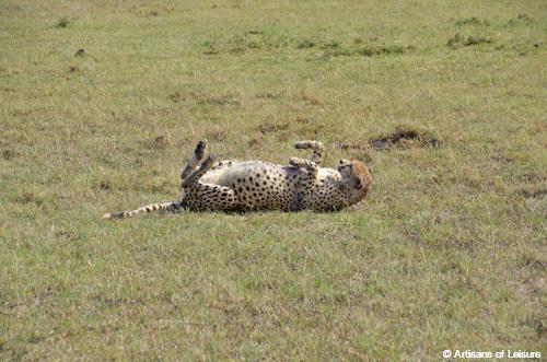 Kenya Maasai Mara Saruni Mara leopard