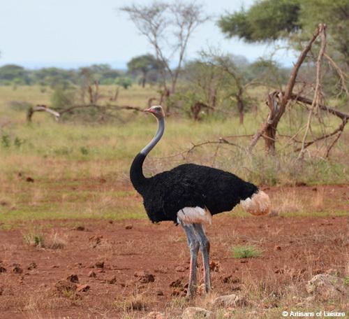 Kenya Meru Elsa ostrich