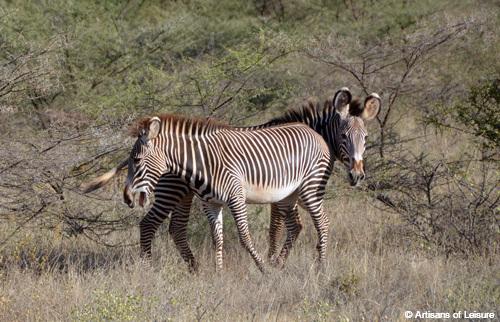 Kenya Saruni Samburu zebras