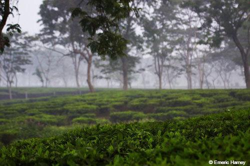 tea and mist