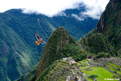 falcon in Peru