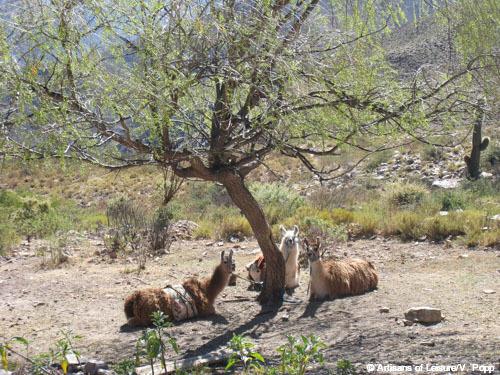 resting llamas