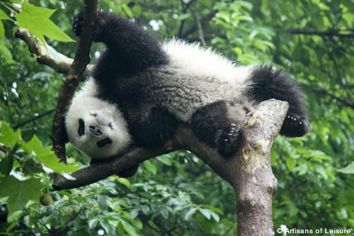 Pandas in Chengdu China