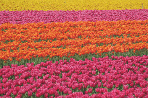 Flower tours Amsterdam