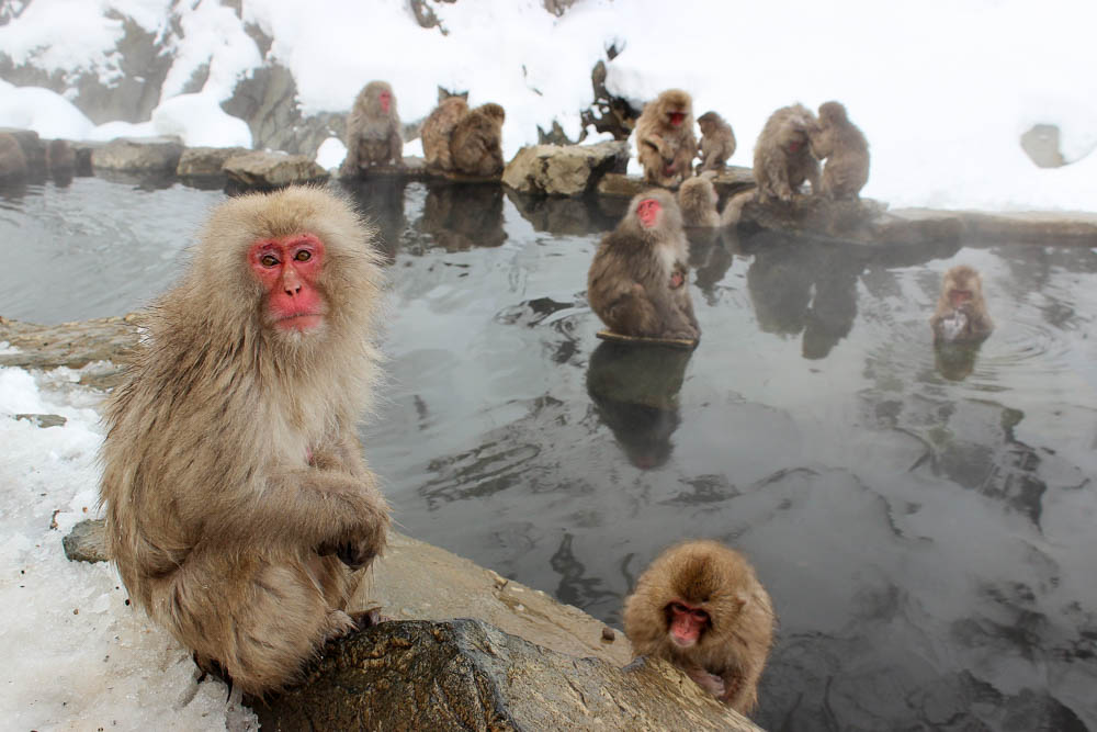 snow monkeys japan