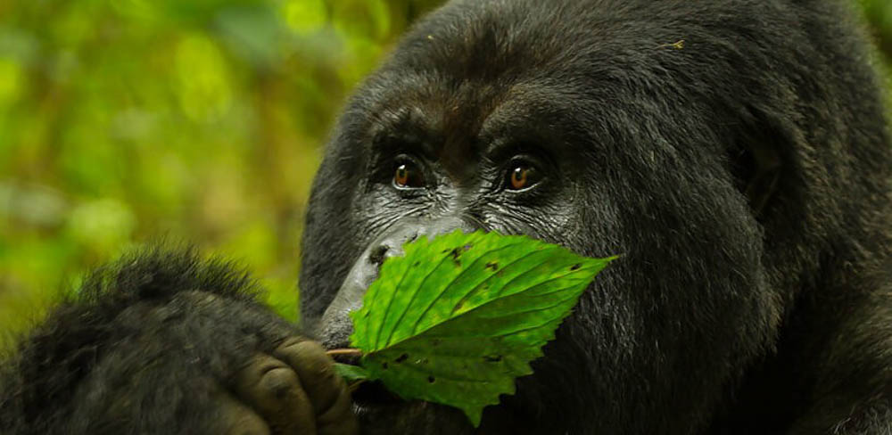 gorilla safaris luxury