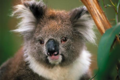 137-koala.jpg