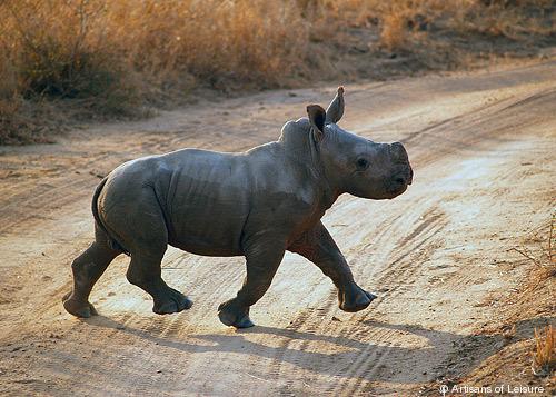 742-Baby_Rhino.jpg