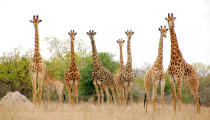 giraffes_South Africa_safari