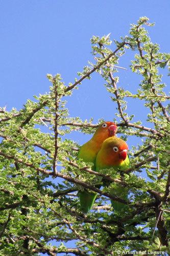 817-Lovebirds.jpg
